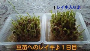 豆苗実験01