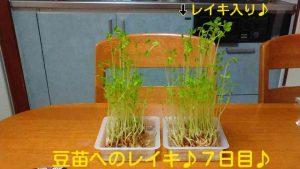 豆苗実験02
